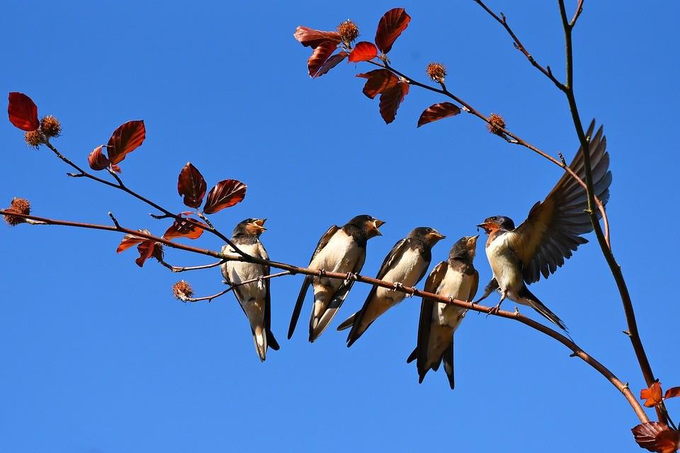 куда улетают ласточки осенью