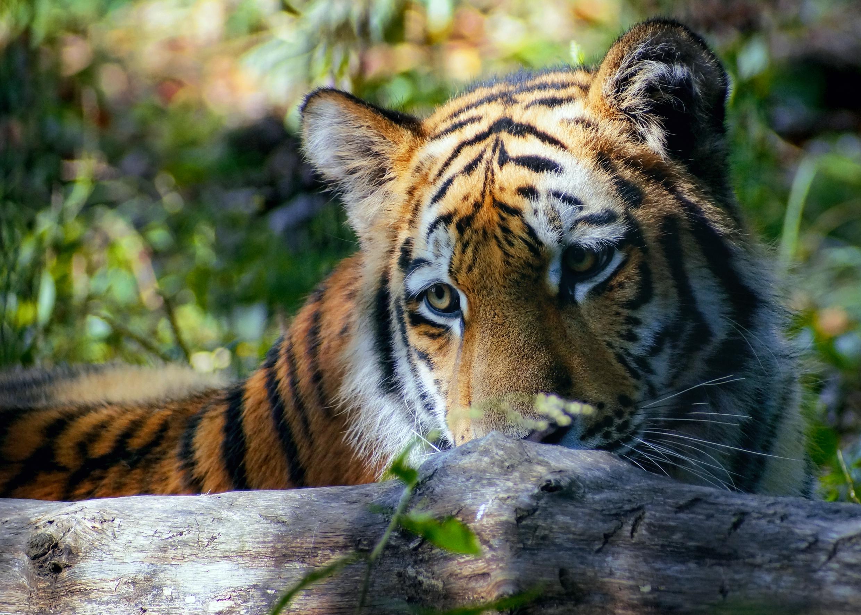Картинки день тигра